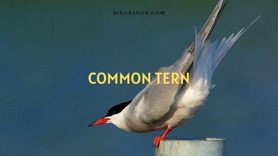 Common Tern Habitat   Call   Migration   Diet