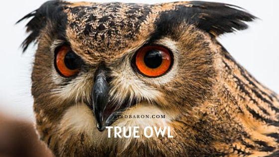 True Owl Facts – Habitat | Communication | Predator