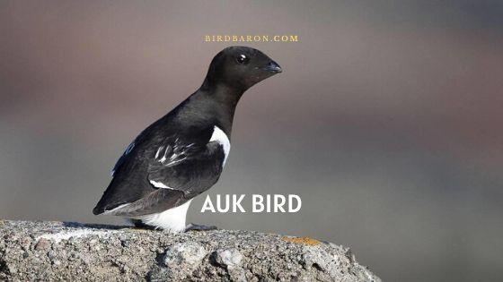 Auk Bird – Profile | Description | Facts | Traits | Behavior