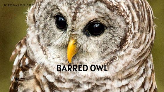 Barred Owl – Description | Traits | Profile | Facts | Habitat