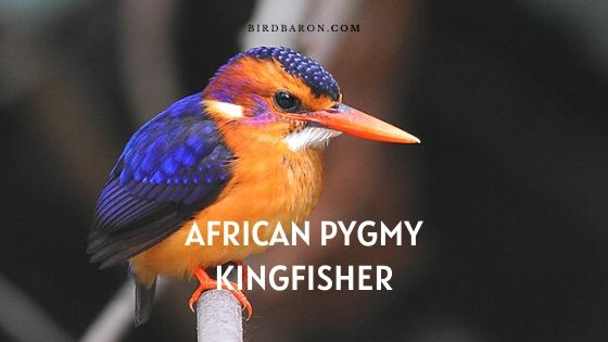 African Pygmy Kingfisher – Profile | Facts | Traits | Description