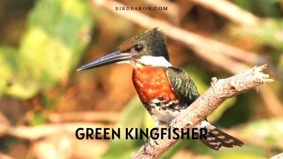 Green Kingfisher Bird – Description | Fact | Call | Range