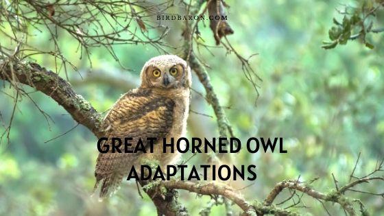 Great Horned Owl Adaptations – Survival Mesures