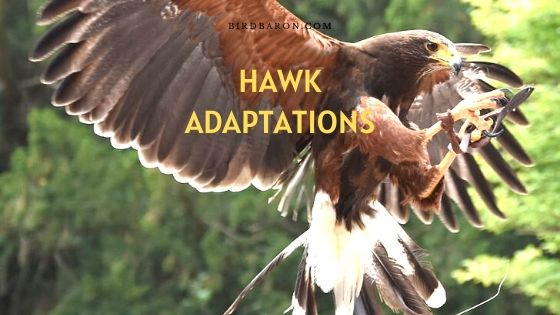 Hawk Adaptations – How Do They Survive?