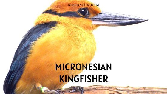 Micronesian (or Guam) Kingfisher – Description | Facts