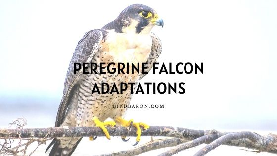 Peregrine Falcon Adaptations – How do They Survive?
