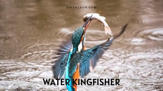 Water (or Cerylid) Kingfisher – Profile | Description | Facts
