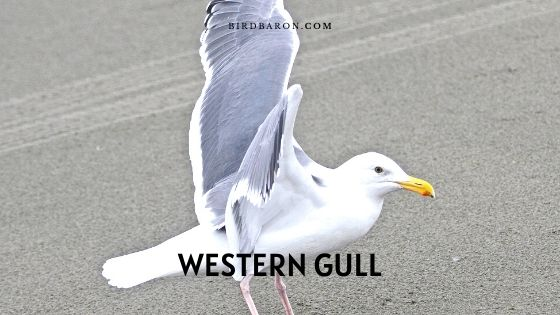 Western Gull – Facts | Description | Hybridization