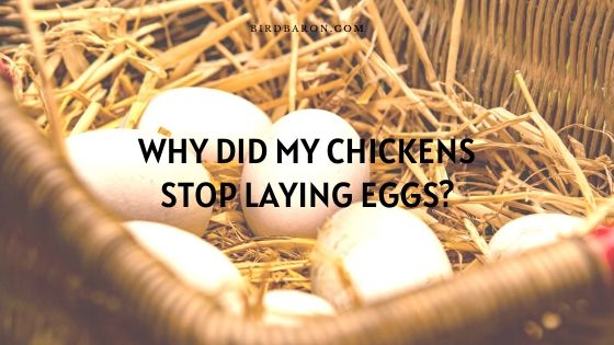 24 Reasons Why Did My Chickens Stop Laying Eggs