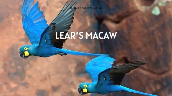 Lear's Macaw (Anodorhynchus leari) | Indigo Macaw Profile