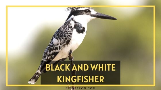 Black and White Kingfisher Bird – Profile | Facts