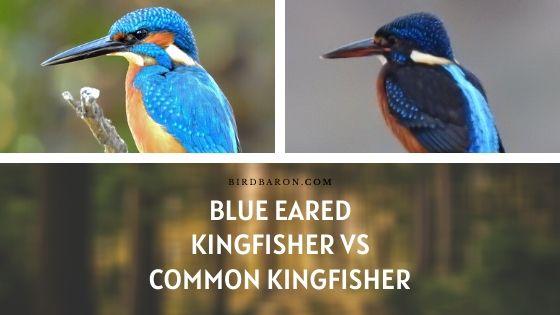 Blue Eared Kingfisher vs Common Kingfisher