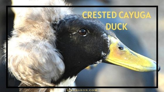 Crested Cayuga Duck – Profile | Care | Varieties