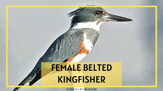 Female Belted Kingfisher – Uniqueness | Characteristics