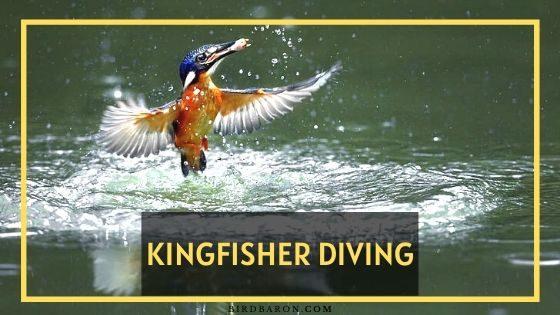 Kingfisher Diving – How Fast Does A Kingfisher Dive?