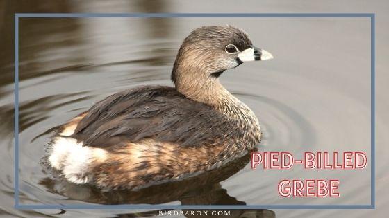 Pied-billed Grebe Bird – Facts | Profile | Nest | Migration
