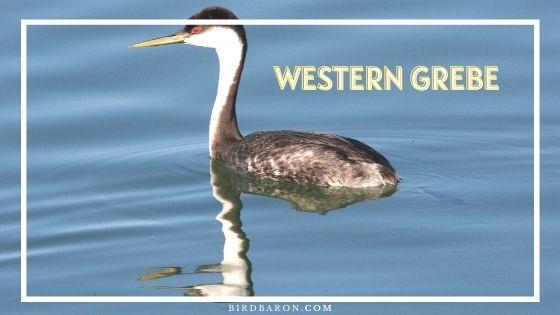 Western Grebe Bird – Profile | Facts | Description | Baby