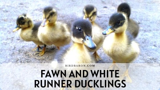 Fawn and White Runner Ducklings – Care | Profile | Fly
