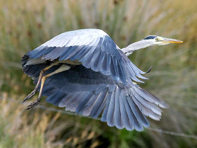 Grey Heron – Profile | Facts | Juvenile | Habitat | Communication