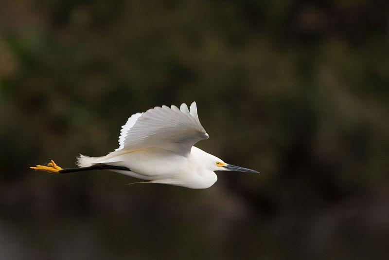 Snowy Egret – Profile | Facts | Habitat | Range | Migration | Diet
