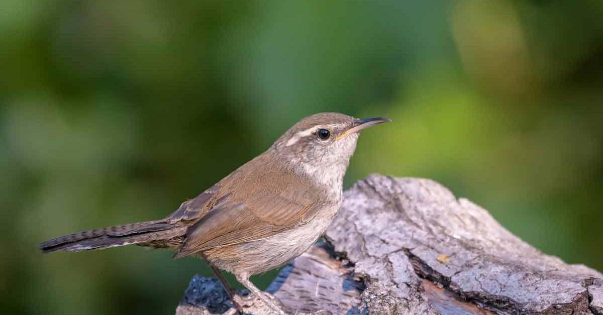 Bewick's Wren – Song | Call | Nest | Range | Diet | Size | Female