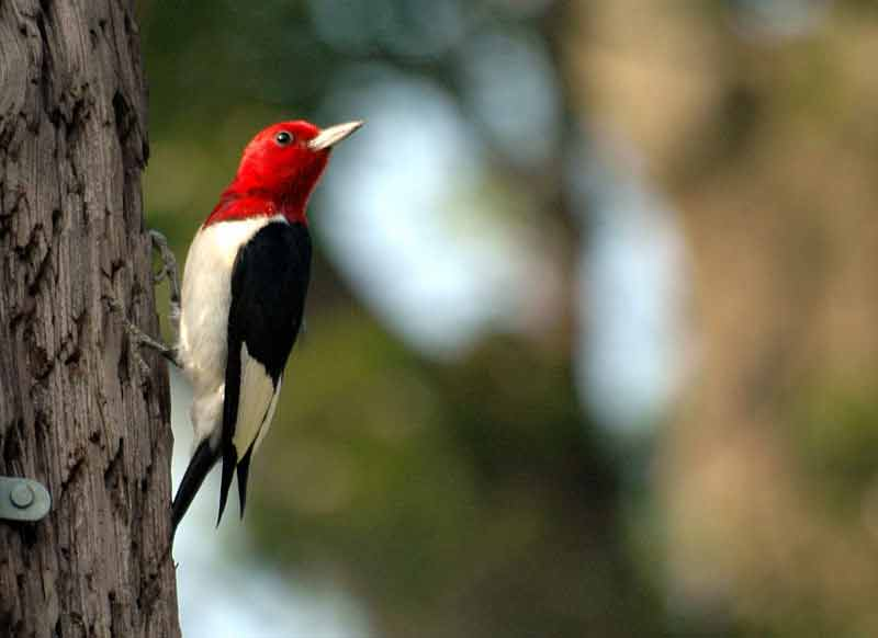 Red-headed Woodpecker – Call   Habitat   Range   Size   Facts   Diet