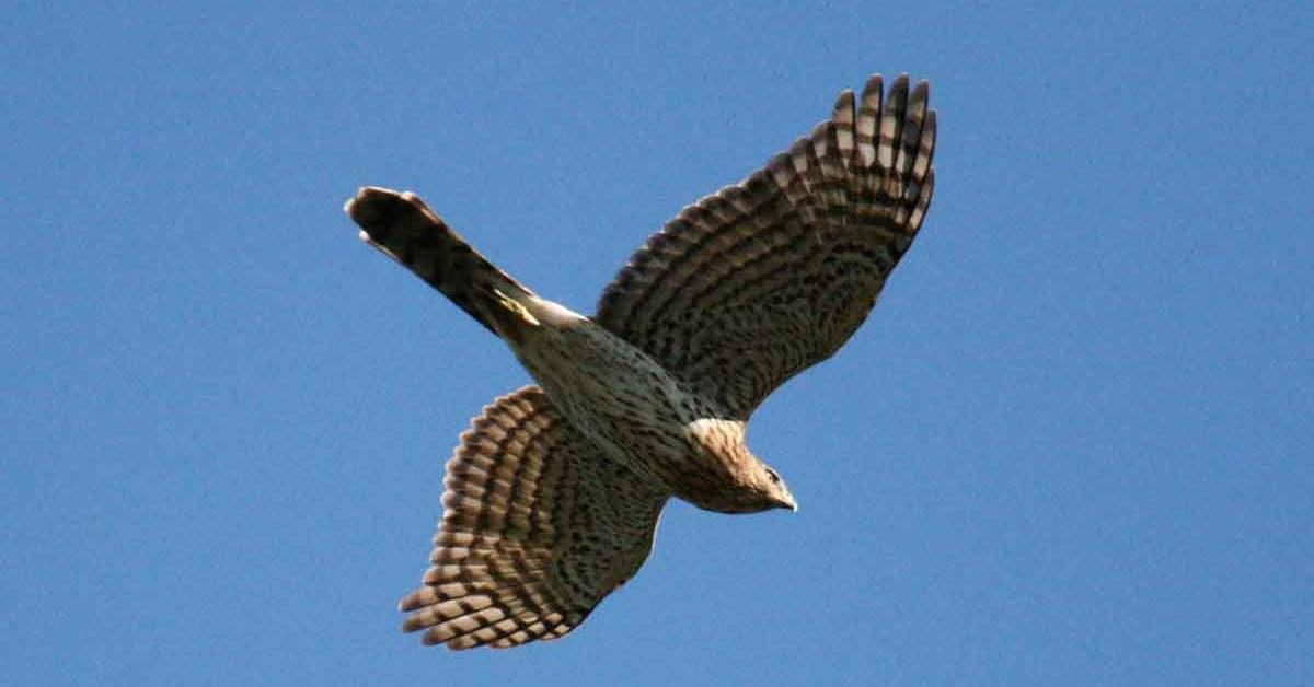 Cooper's Hawk Bird – Profile | Facts | Size | Juvenile | Diet | Breeding