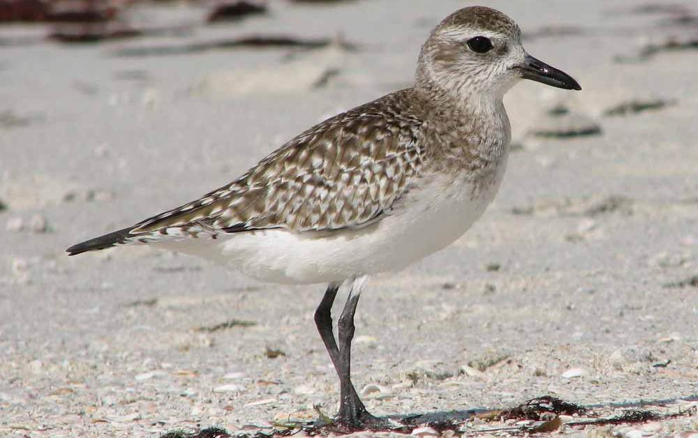 Black-Bellied Plover – Profile | Facts | Flight | Plumage | Traits