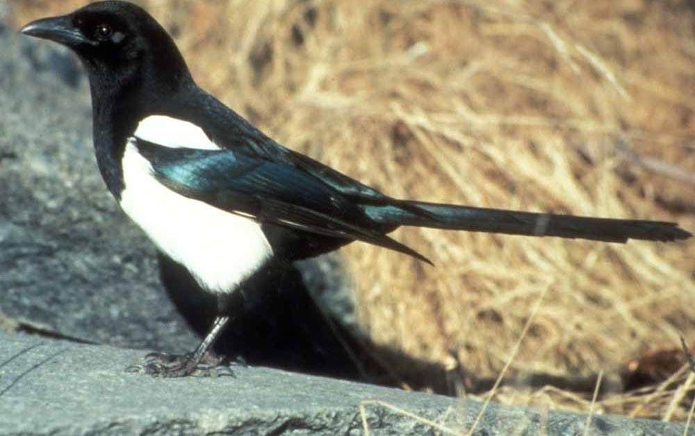 Black-Billed Magpie – American Magpie – Profile | Facts | Traits