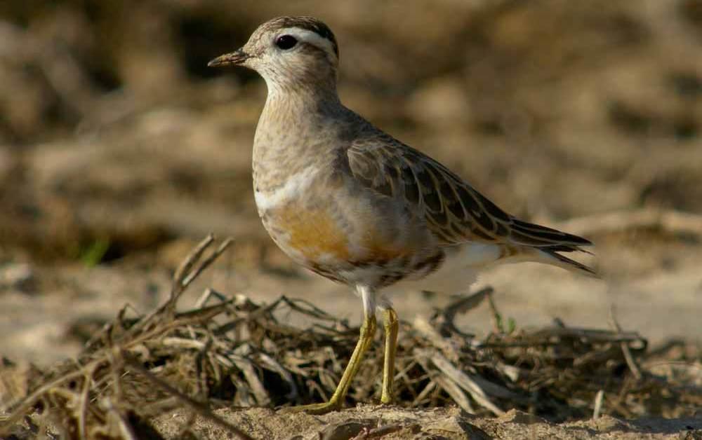 Eurasian Dotterel – Profile | Nest | Habitat | Description | Ecology