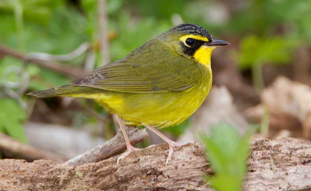 Kentucky Warbler – Profile | Egg | Nest | Male | Traits | Range