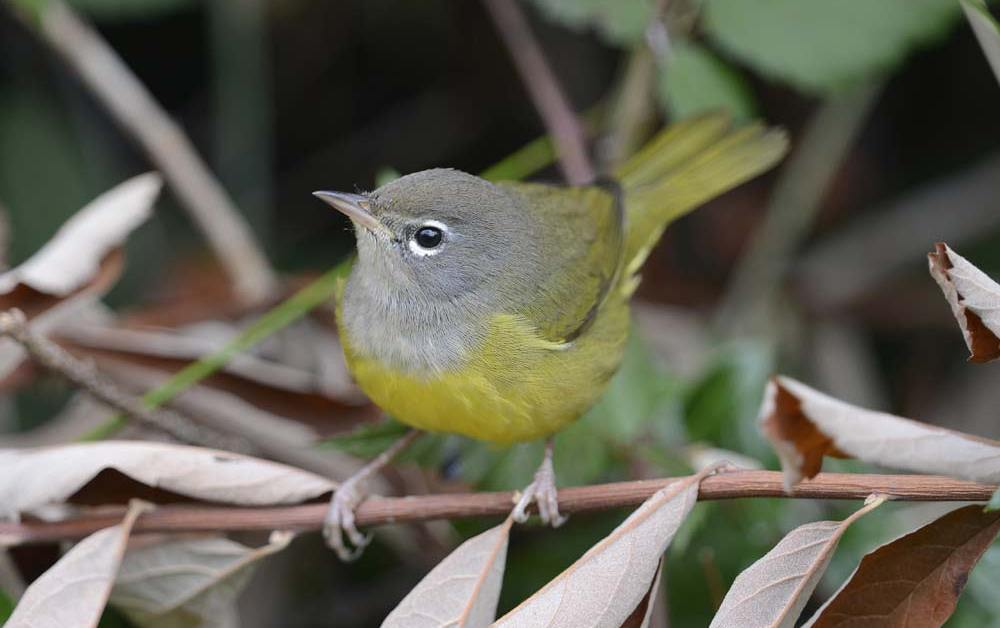 MacGillivray's Warbler – Profile | Facts | Song | Traits | Range