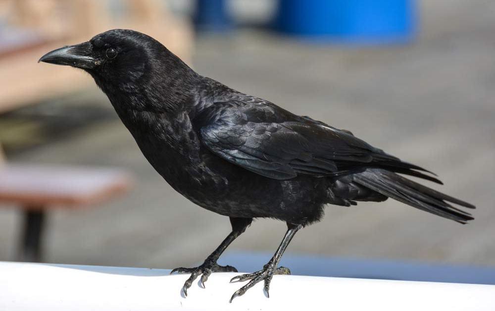 Northwestern Crow – Profile | Facts | Range | Call | Traits