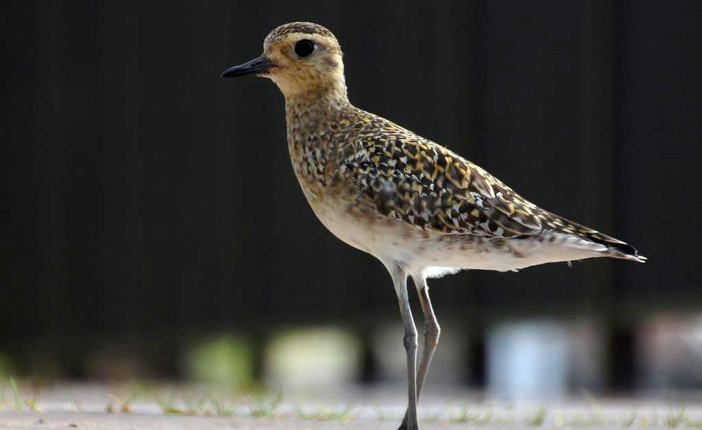 Pacific Golden-Plover – Profile | Facts | Migration | Flight | Traits