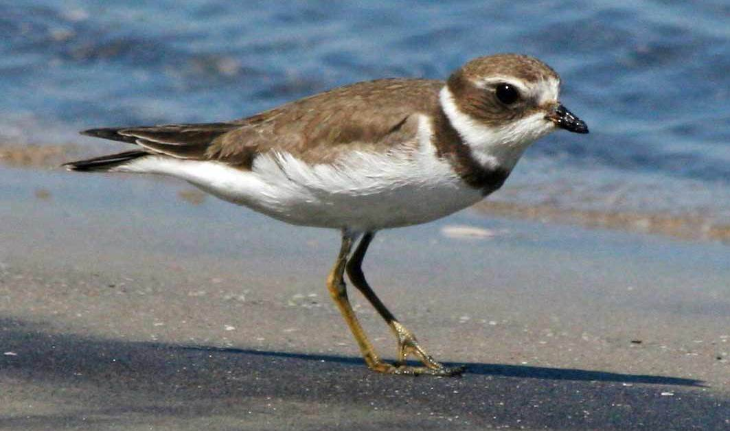 Semipalmated Plover – Profile | Facts | Flight | Call | Traits
