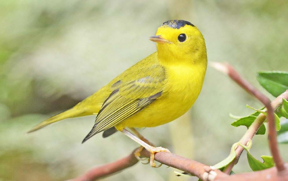 Wilson's Warbler – Profile | Male | Female | Song | Traits | Range