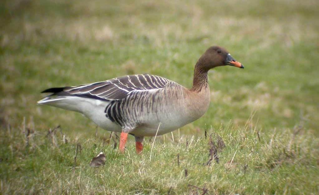 Taiga Bean Goose – Profile | Facts | Range | Tundra | Identification