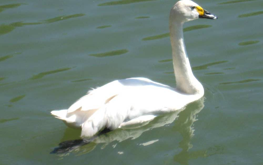 Bewicks Swan – Profile | Traits | Migration | Call | Diet | Breeding