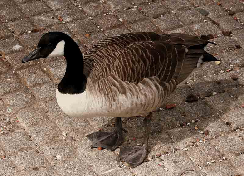 Black-Headed Duck – Profile | Traits | Facts | Habitat | Breeding