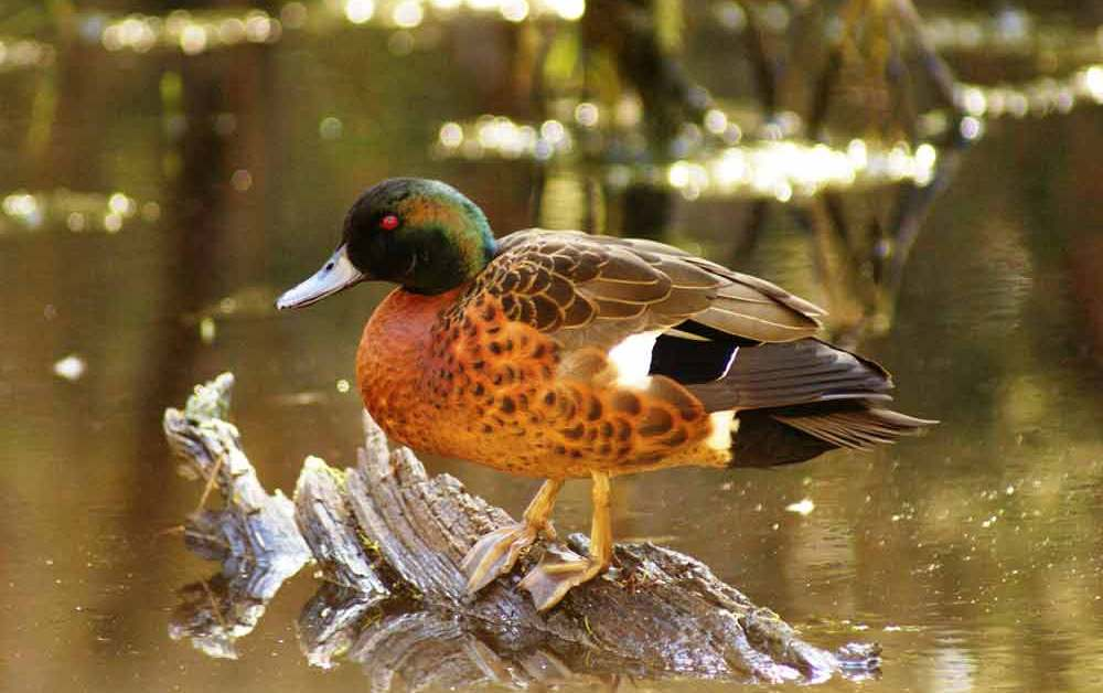 Chestnut Teal – Profile | Traits | Facts | Call | Diet | Breeding