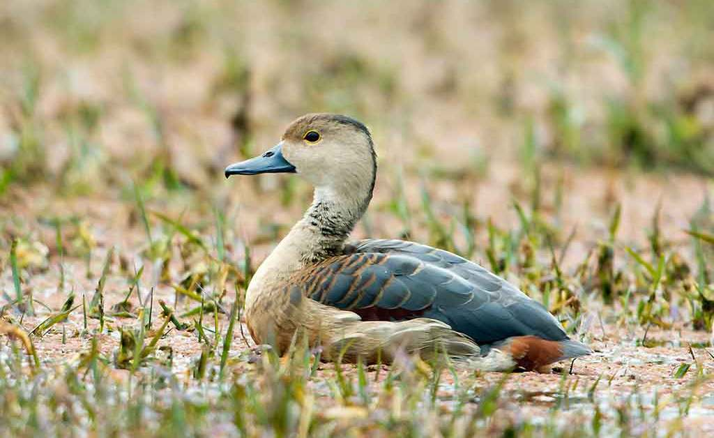Lesser Whistling Duck – Profile | Traits | Diet | Habitat | Breeding