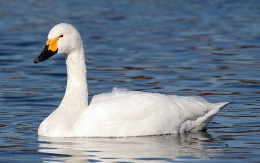 Whistling Swan – Profile | Traits | Facts | Call | Diet | Breeding