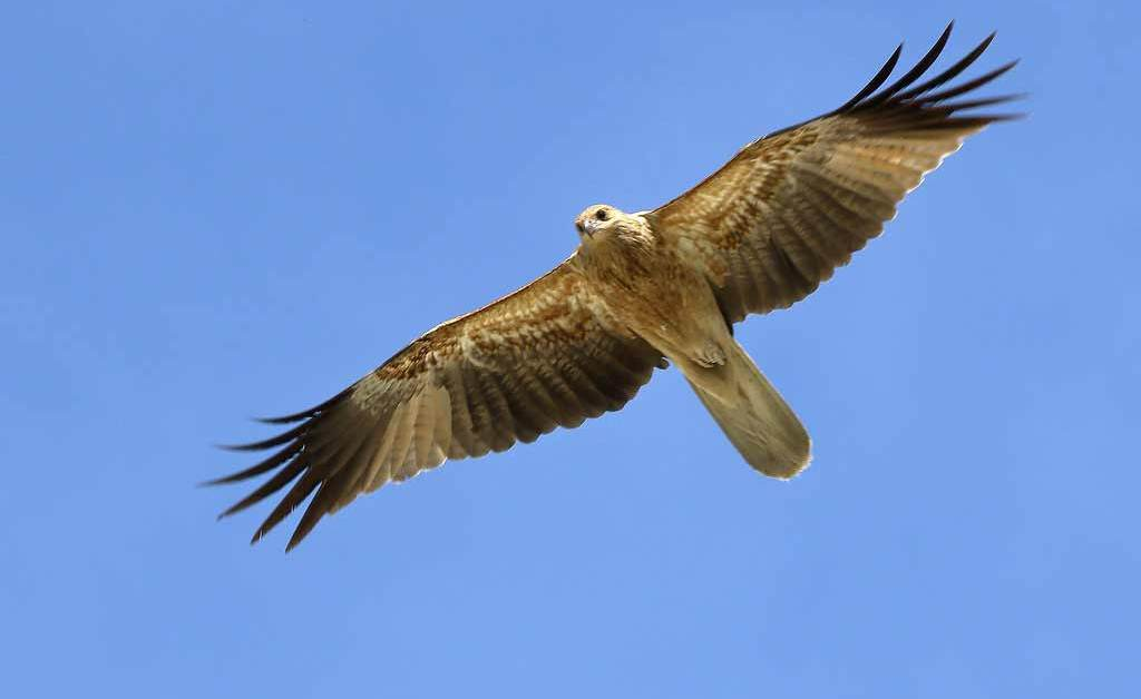 Whistling Kite – Profile | Traits | Facts | Call | Diet | Breeding