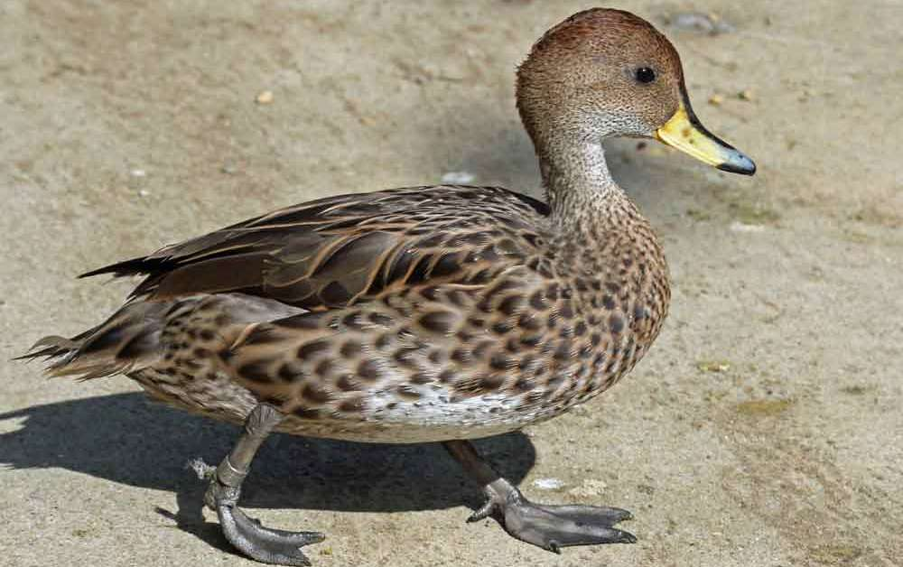 Yellow-Billed Pintail – Profile | Traits | Facts | Diet | Habitat