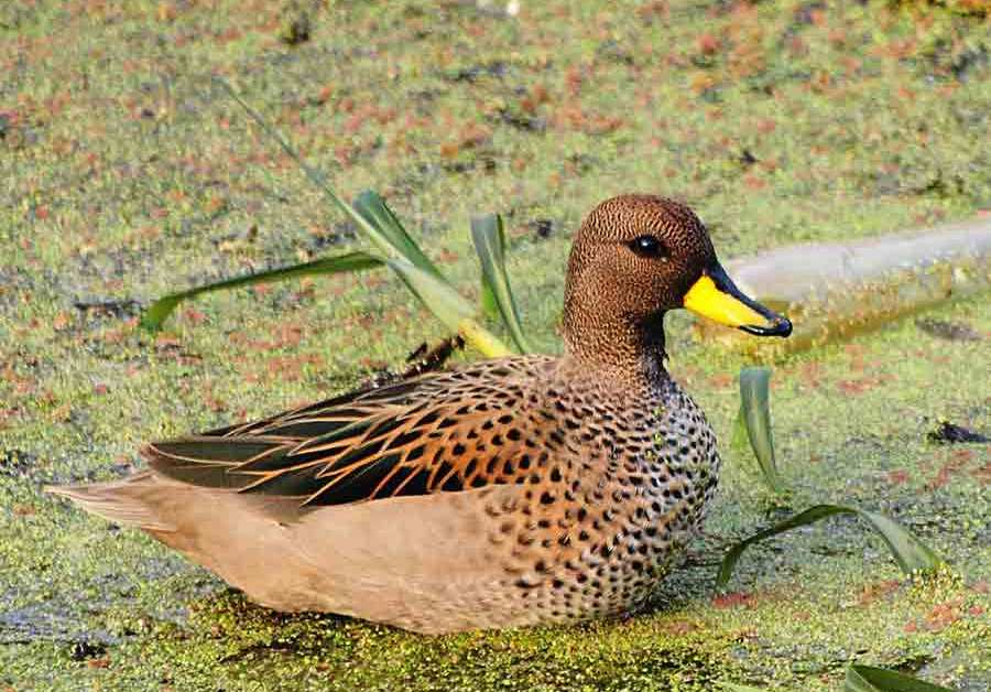 Yellow-Billed Teal – Profile | Traits | Facts | Habitat | Breeding