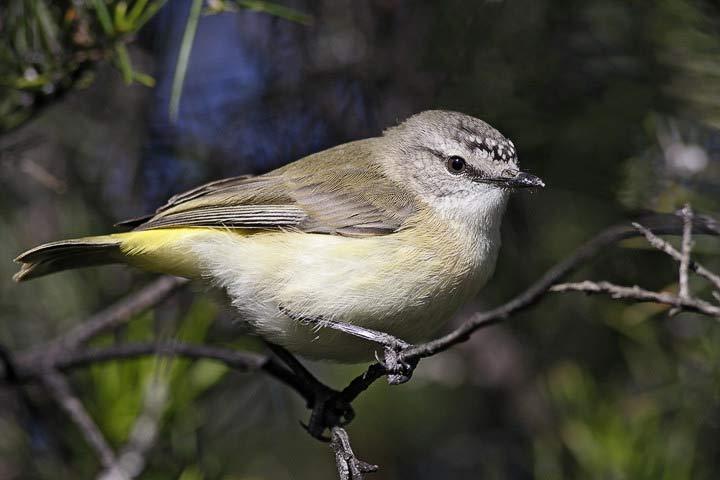 Yellow-Rumped Thornbill – Profile | Traits | Facts | Call | Breeding
