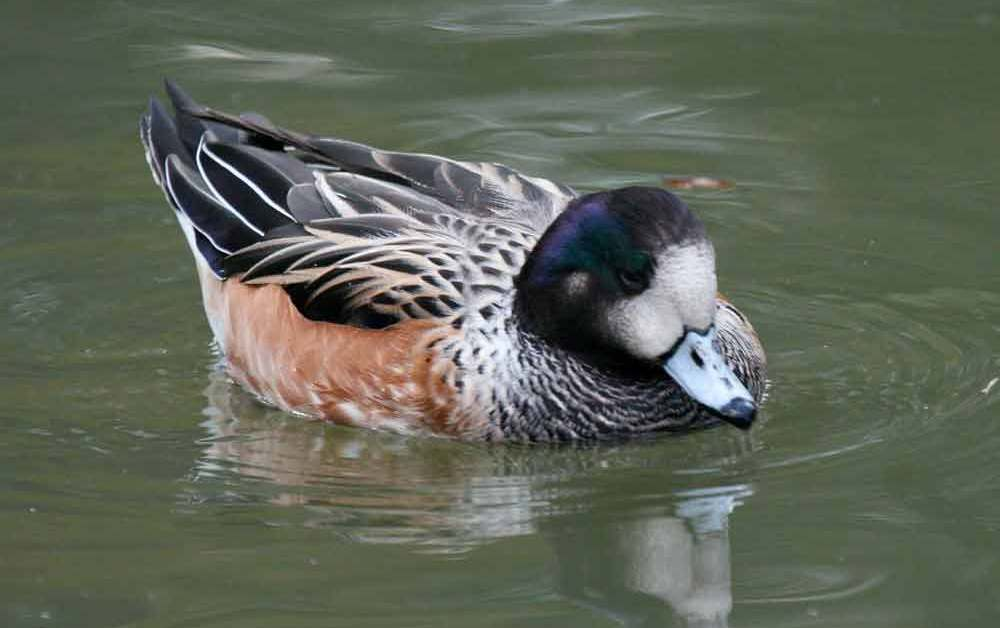 Chiloe Wigeon Duck – Profile | Traits | Facts | Diet | Breeding