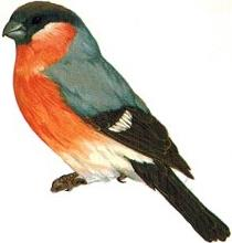 Image result for male bullfinch images