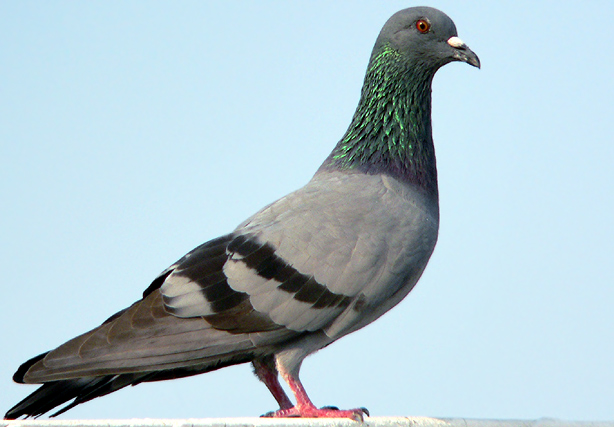 https://i1.wp.com/www.birding.in/images/Birds/rock_pigeon.jpg