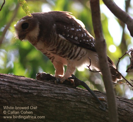 White-browed Owl eating a chameleon at Berenty's gallery forest